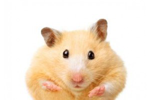 Présentation du hamster