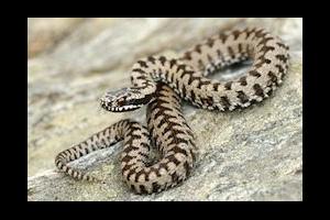 Read more about the article Les intoxications par les serpents venimeux